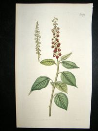 Curtis 1815 Hand Coloured Botanical Print. Downy Rivina #1781